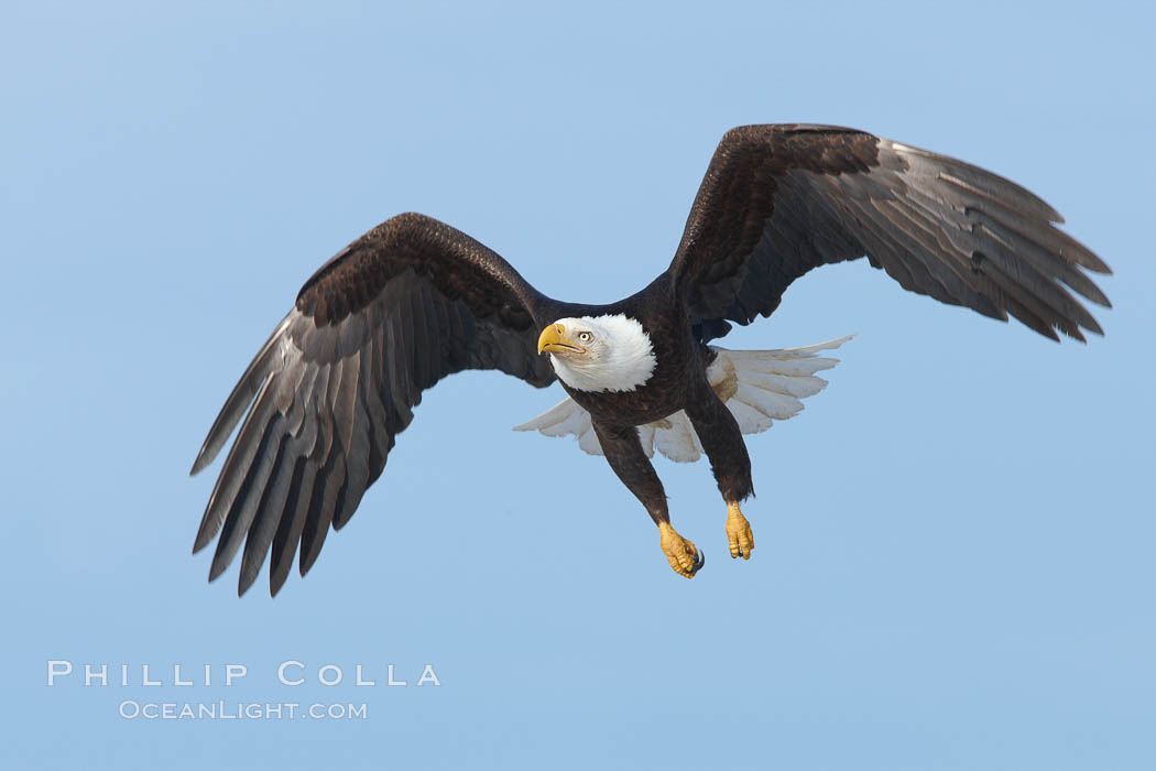 Bald eagle in flight, wing spread, aloft, soaring. Kachemak Bay, Homer, Alaska, USA, Haliaeetus leucocephalus, Haliaeetus leucocephalus washingtoniensis, natural history stock photograph, photo id 22585