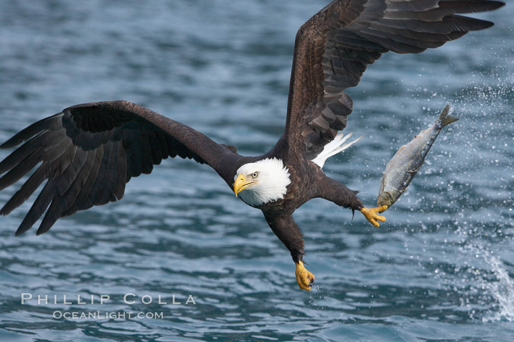 Bald eagle makes a splash while in flight as it takes a fish out of the water. Kenai Peninsula, Alaska, USA, Haliaeetus leucocephalus, Haliaeetus leucocephalus washingtoniensis, natural history stock photograph, photo id 22638
