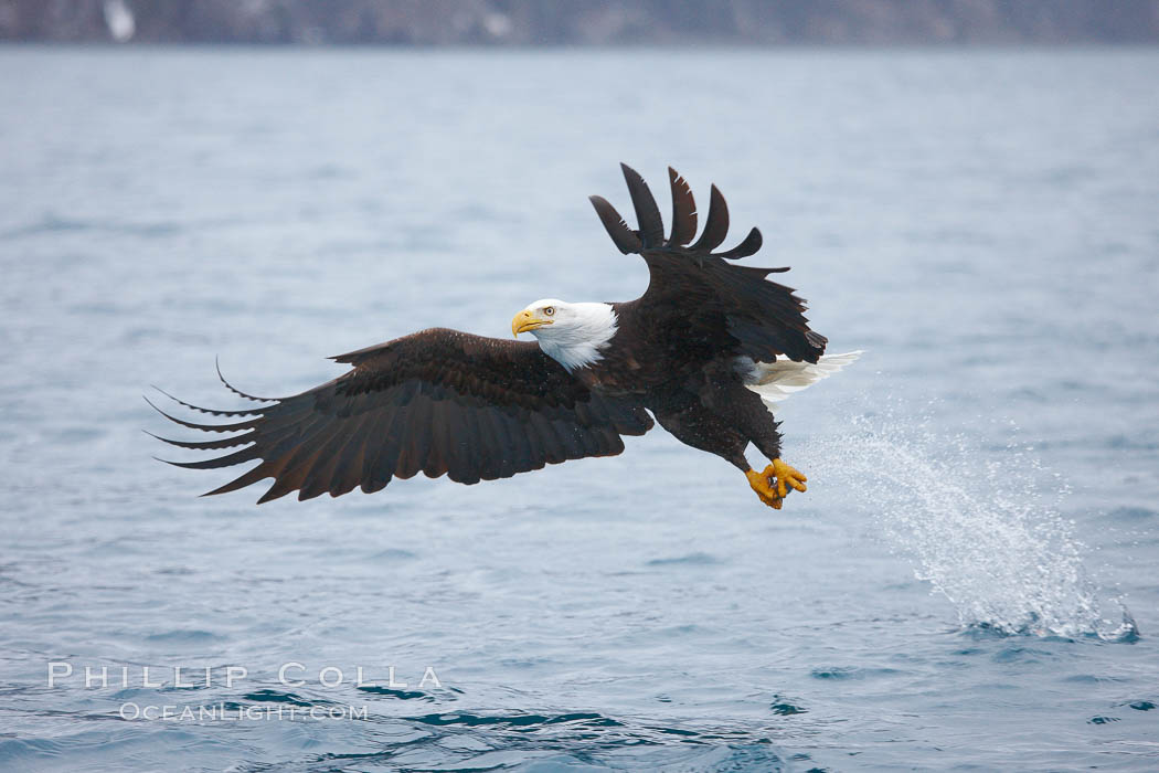 Bald eagle makes a splash while in flight as it takes a fish out of the water. Kenai Peninsula, Alaska, USA, Haliaeetus leucocephalus, Haliaeetus leucocephalus washingtoniensis, natural history stock photograph, photo id 22723