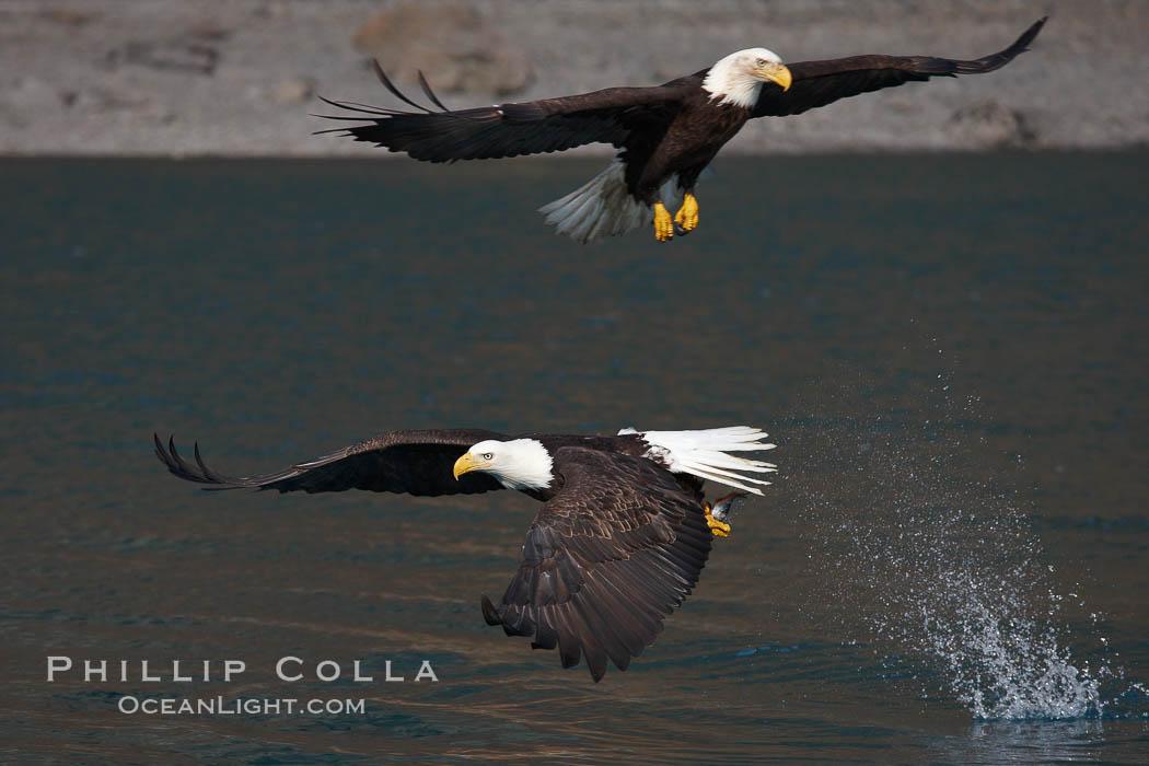 Image 22610, Bald eagle makes a splash while in flight as it takes a fish out of the water. Kenai Peninsula, Alaska, USA, Haliaeetus leucocephalus, Haliaeetus leucocephalus washingtoniensis