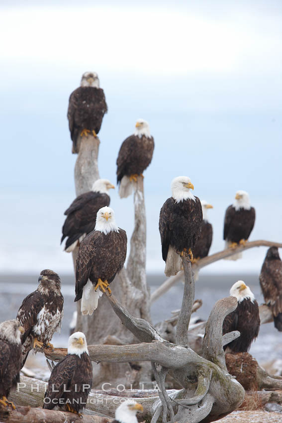 "Group of bald eagles, part of a group of several hundred, perched on wooden driftwood stumps, waiting to be fed frozen fish on a winter morning, part of the Homer ""Eagle Lady's"" winter feeding program. Kachemak Bay, Alaska, USA, Haliaeetus leucocephalus, Haliaeetus leucocephalus washingtoniensis, natural history stock photograph, photo id 22656"