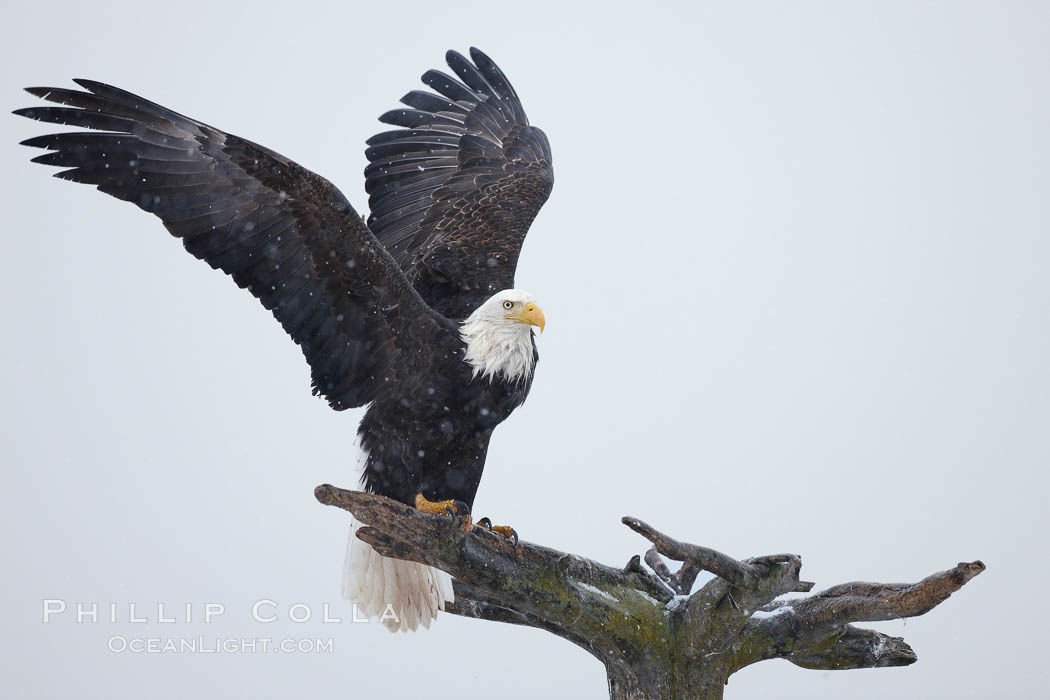 Image 22679, Bald eagle standing on perch, talons grasping wood, wings spread as it balances, snow falling, overcast sky. Kachemak Bay, Homer, Alaska, USA, Haliaeetus leucocephalus, Haliaeetus leucocephalus washingtoniensis