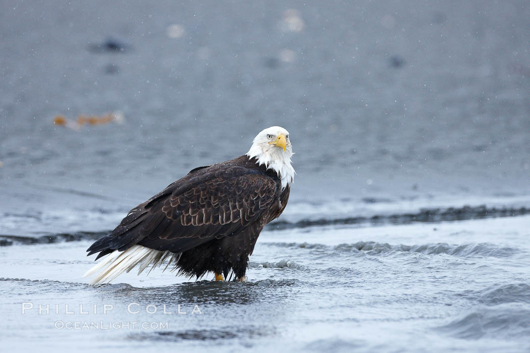Bald eagle forages in tide waters on sand beach, snow falling. Kachemak Bay, Homer, Alaska, USA, Haliaeetus leucocephalus, Haliaeetus leucocephalus washingtoniensis, natural history stock photograph, photo id 22683