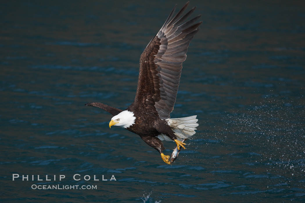 Bald eagle in flight drips water as it carries a fish in its talons that it has just pulled from the water. Kenai Peninsula, Alaska, USA, Haliaeetus leucocephalus, Haliaeetus leucocephalus washingtoniensis, natural history stock photograph, photo id 22637