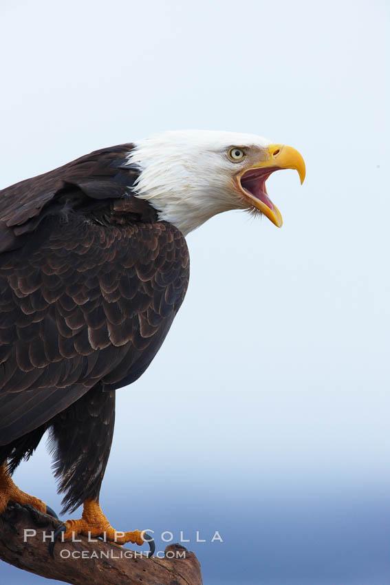 Bald eagle vocalizing, calling, with open beak while on wooden perch. Kachemak Bay, Homer, Alaska, USA, Haliaeetus leucocephalus, Haliaeetus leucocephalus washingtoniensis, natural history stock photograph, photo id 22627