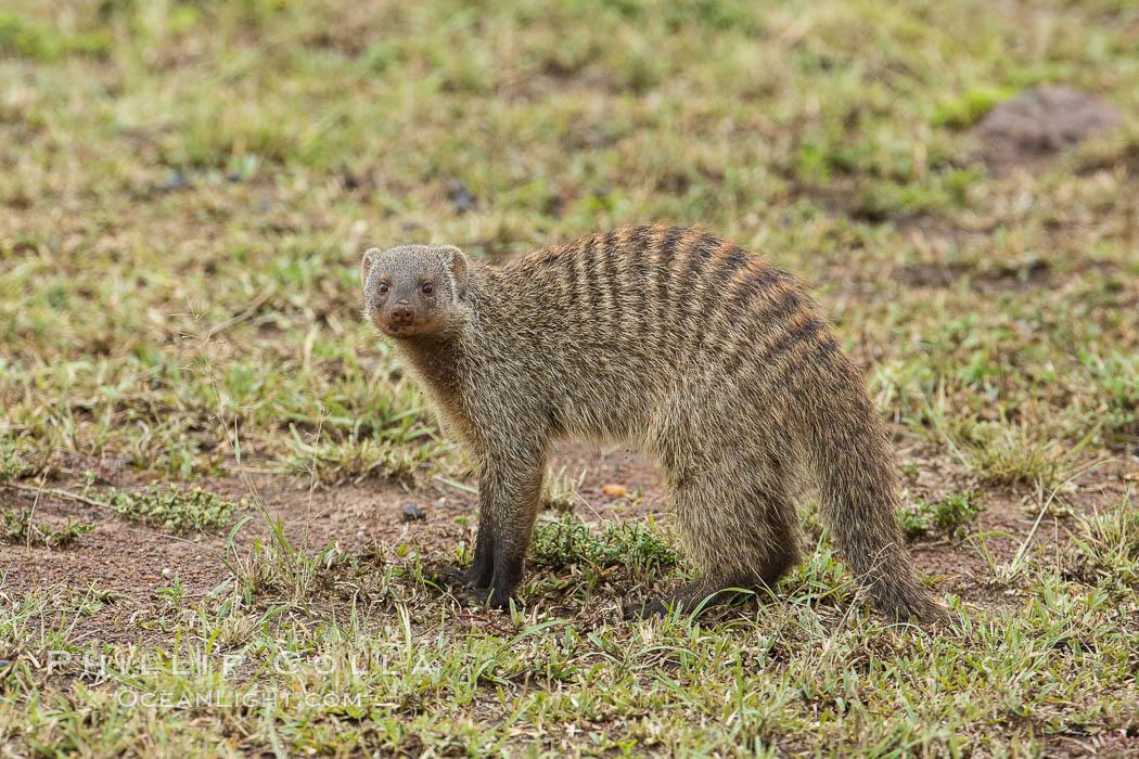 Banded mongoose, Maasai Mara, Kenya. Maasai Mara National Reserve, Kenya, Mungos mungo, natural history stock photograph, photo id 29848