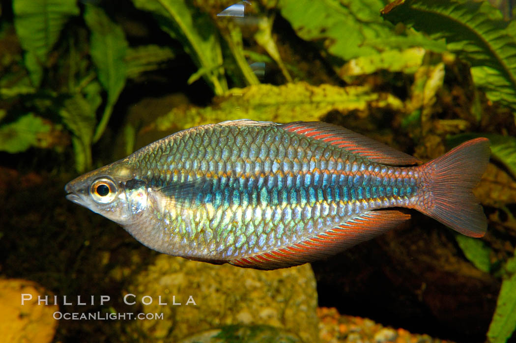 Banded rainbowfish, native to rivers of southern China to Vietnam., Melanotaenia trifasciata, natural history stock photograph, photo id 09799