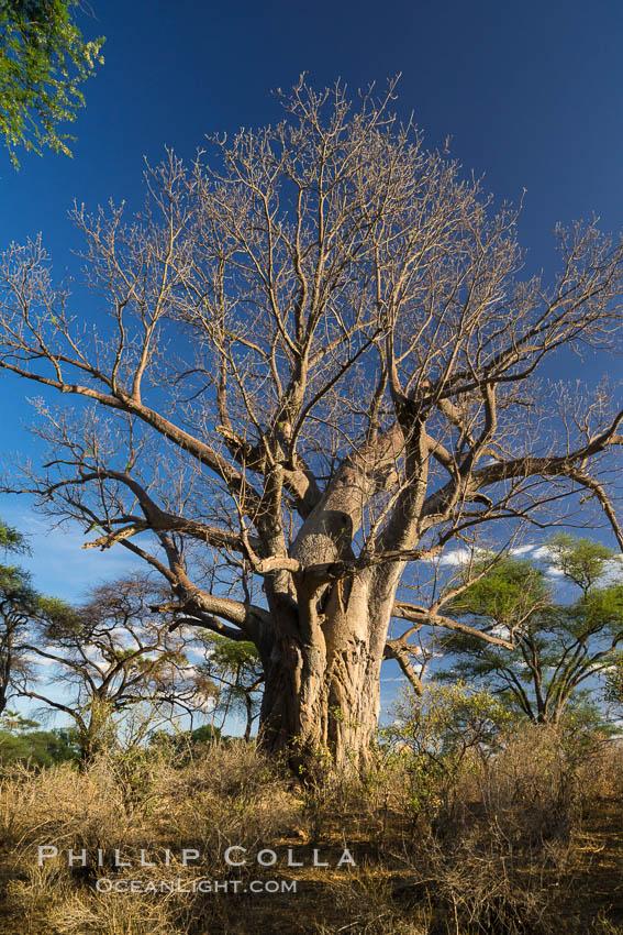 Baobab Tree, Meru National Park, Kenya. Meru National Park, Kenya, Adansonia digitata, natural history stock photograph, photo id 29754