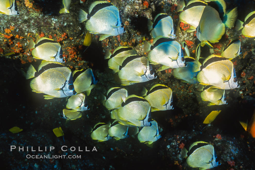 Barberfish. Socorro Island (Islas Revillagigedos), Baja California, Mexico, Johnrandallia nigrirostris, natural history stock photograph, photo id 05059