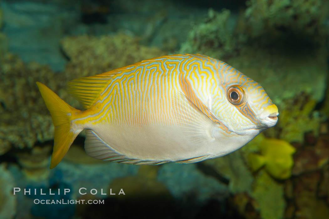 Barred spinefoot rabbitfish, daytime coloration., Siganus doliatus, natural history stock photograph, photo id 12942