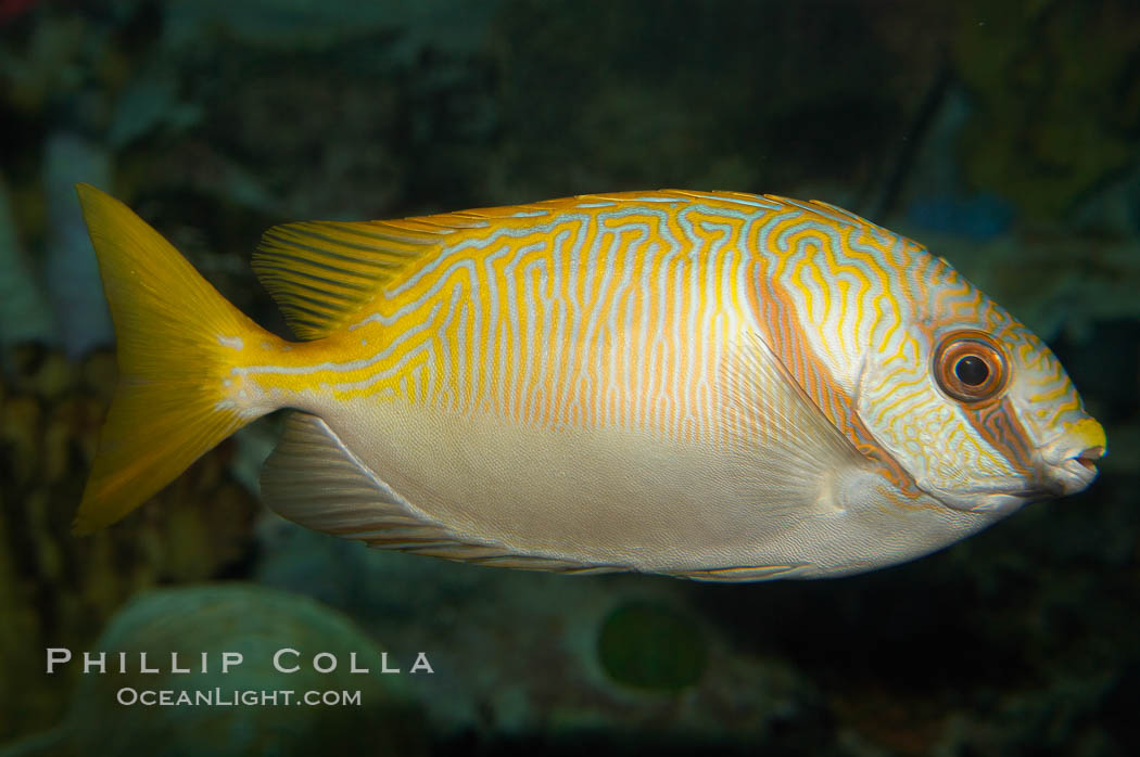 Barred spinefoot rabbitfish, daytime coloration., Siganus doliatus, natural history stock photograph, photo id 12943
