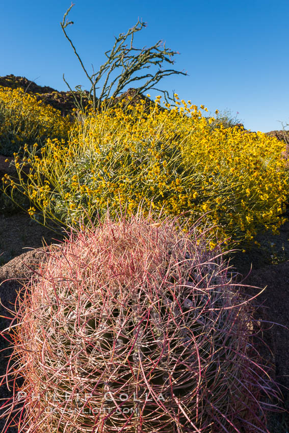 Barrel Cactus and Brittlebush in Anza Borrego Desert State Park, during the 2017 Superbloom. Anza-Borrego Desert State Park, Borrego Springs, California, USA, natural history stock photograph, photo id 33199