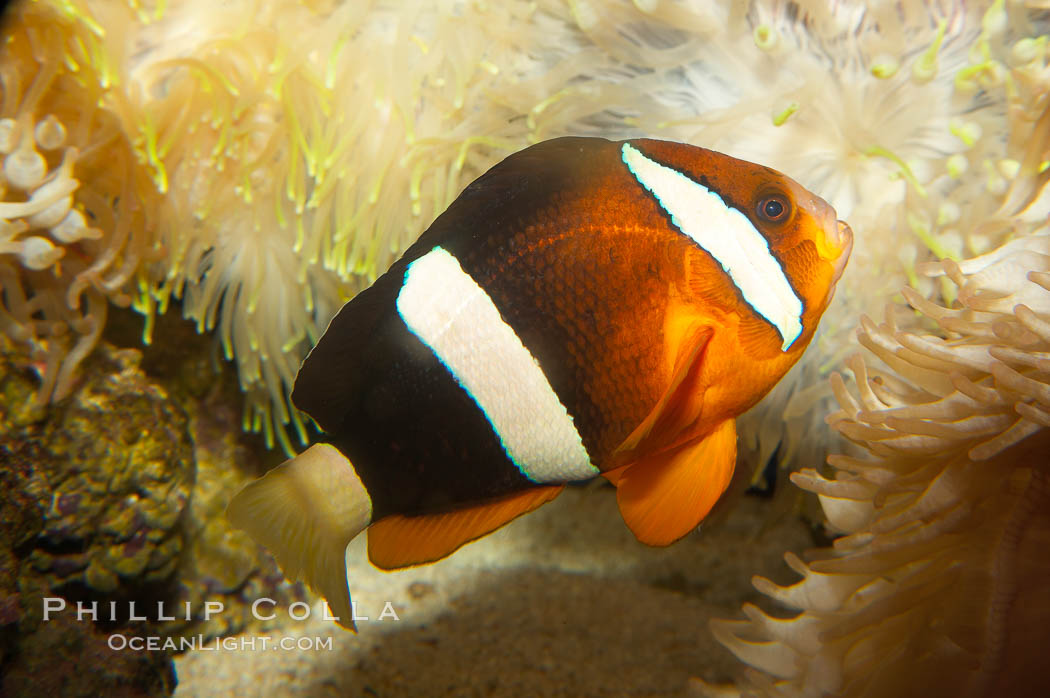 Barrier reef anemonefish., Amphiprion akindynos, natural history stock photograph, photo id 12910
