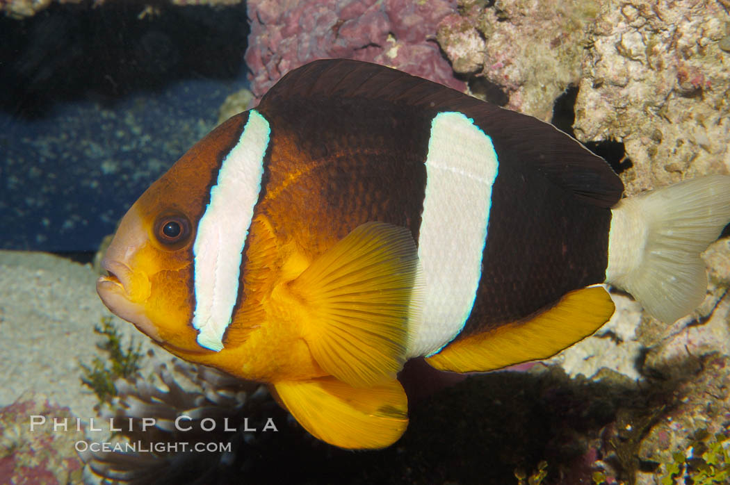 Barrier reef anemonefish., Amphiprion akindynos, natural history stock photograph, photo id 08823