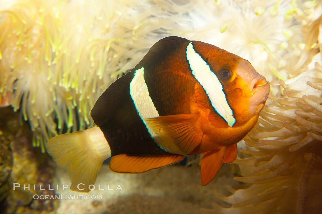 Barrier reef anemonefish., Amphiprion akindynos, natural history stock photograph, photo id 12911