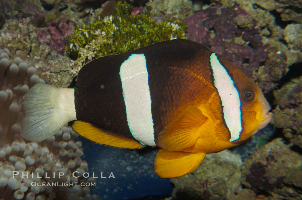 Barrier reef anemonefish., Amphiprion akindynos, natural history stock photograph, photo id 08825