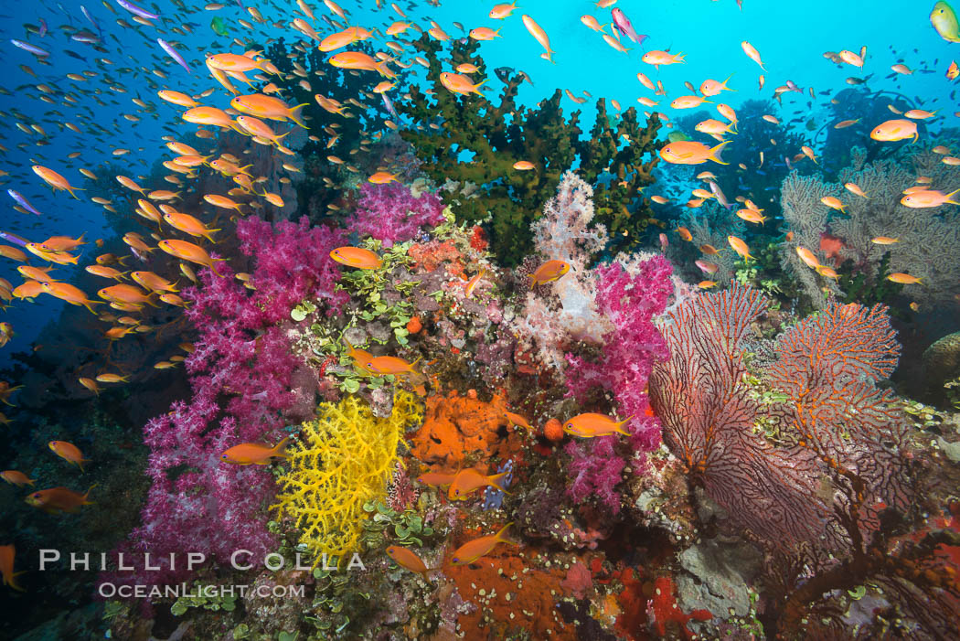 Beautiful tropical reef in Fiji. The reef is covered with dendronephthya soft corals and sea fan gorgonians, with schooling Anthias fishes swimming against a strong current., Dendronephthya, Pseudanthias, Gorgonacea, Tubastrea micrantha, natural history stock photograph, photo id 31614
