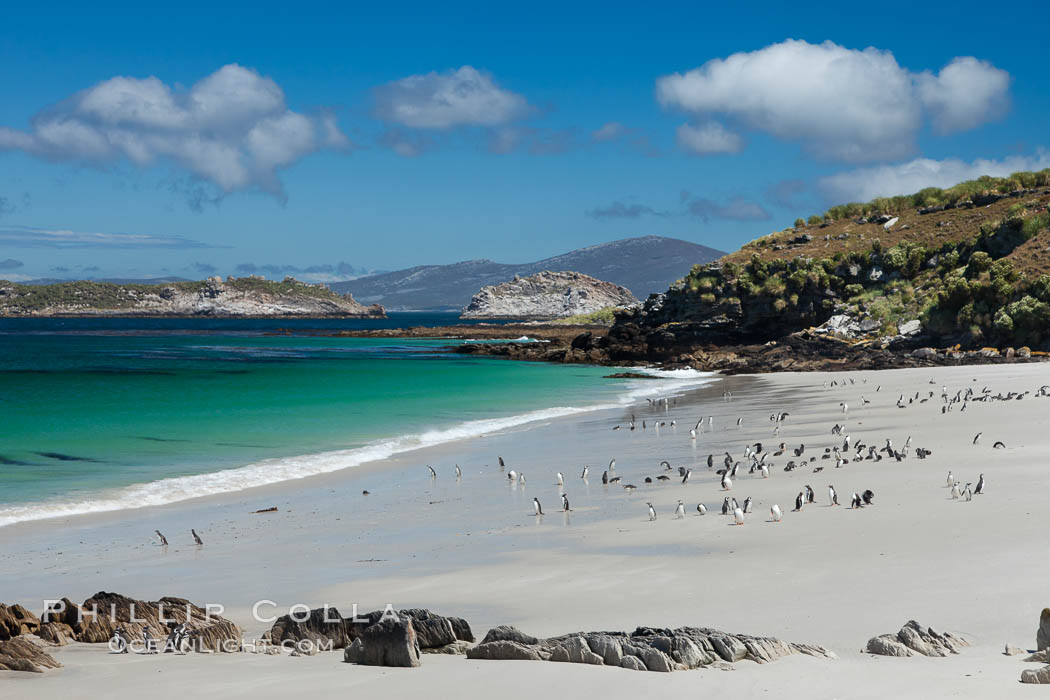 Beautiful white sand beach, on the southern tip of Carcass Island, with gentoo and Magellanic penguins coming and going to sea. Falkland Islands, United Kingdom, natural history stock photograph, photo id 23985