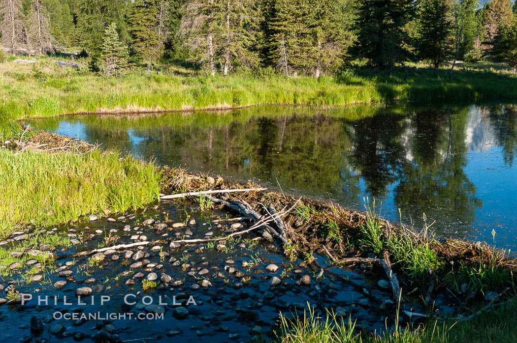 A beaver dam floods a sidewater of the Snake River, creating a pond near Schwabacher Landing. Grand Teton National Park, Wyoming, USA, Castor canadensis, natural history stock photograph, photo id 07342