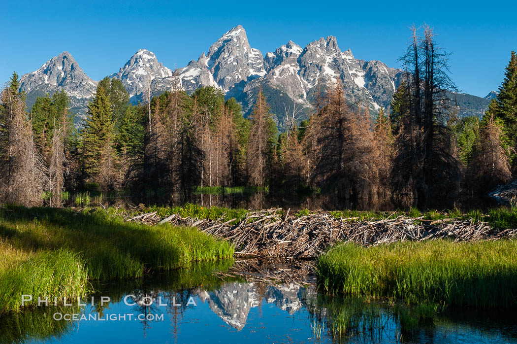 A beaver dam floods a sidewater of the Snake River, creating a pond near Schwabacher Landing. Grand Teton National Park, Wyoming, USA, Castor canadensis, natural history stock photograph, photo id 07340