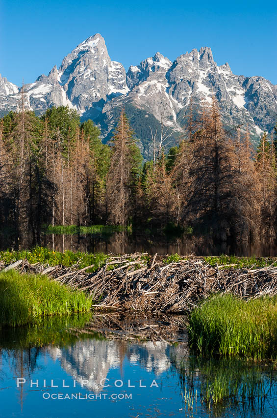 A beaver dam floods a sidewater of the Snake River, creating a pond near Schwabacher Landing. Grand Teton National Park, Wyoming, USA, Castor canadensis, natural history stock photograph, photo id 07341