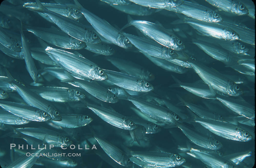 Bigeye scad, schooling. Sea of Cortez, La Paz, Baja California, Mexico, Selar crumenophthalmus, natural history stock photograph, photo id 04787