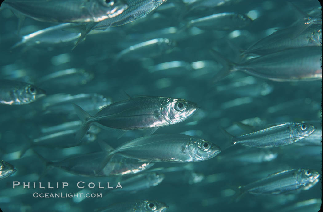 Bigeye scad, schooling. Sea of Cortez, La Paz, Baja California, Mexico, Selar crumenophthalmus, natural history stock photograph, photo id 04782