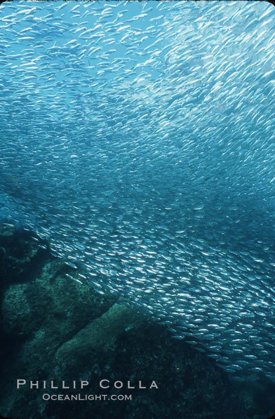 Bigeye scad, schooling. Sea of Cortez, La Paz, Baja California, Mexico, Selar crumenophthalmus, natural history stock photograph, photo id 04816