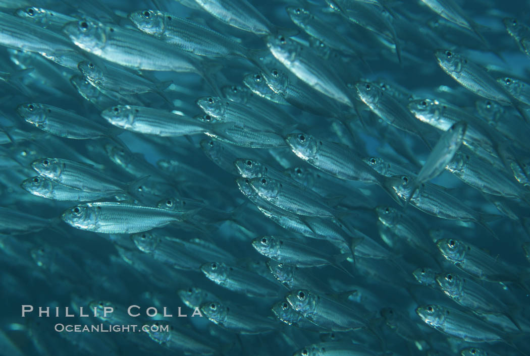 Bigeye scad, schooling, Sea of Cortez., Selar crumenophthalmus, natural history stock photograph, photo id 04803