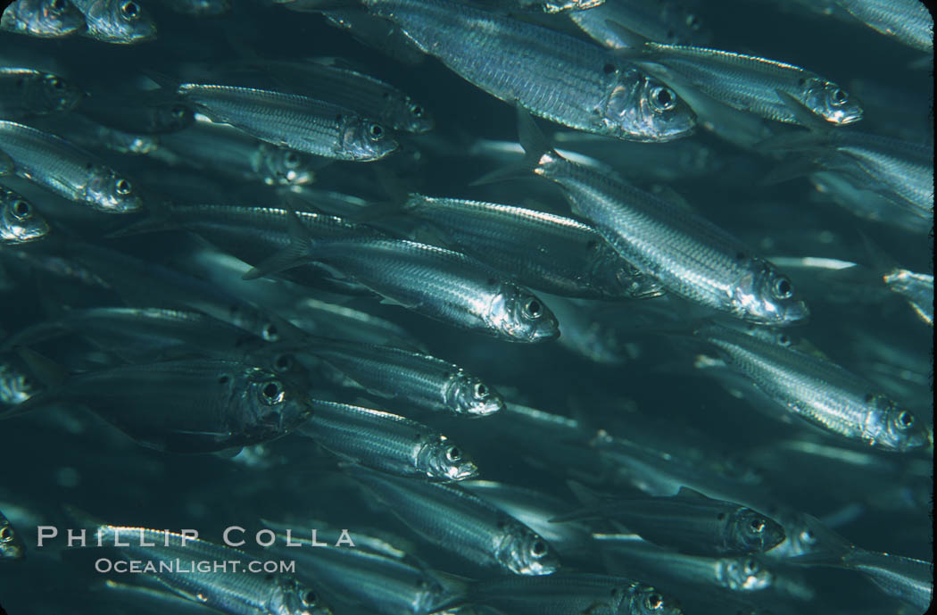 Bigeye scad, schooling. Sea of Cortez, La Paz, Baja California, Mexico, Selar crumenophthalmus, natural history stock photograph, photo id 04785
