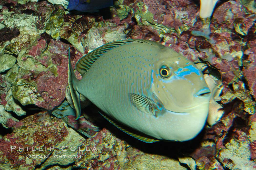 Image 08687, Big-nosed unicornfish., Naso vlamingii, Phillip Colla, all rights reserved worldwide. Keywords: animal, big-nosed unicornfish, fish, marine fish, naso vlamingii, underwater, unicornfish.