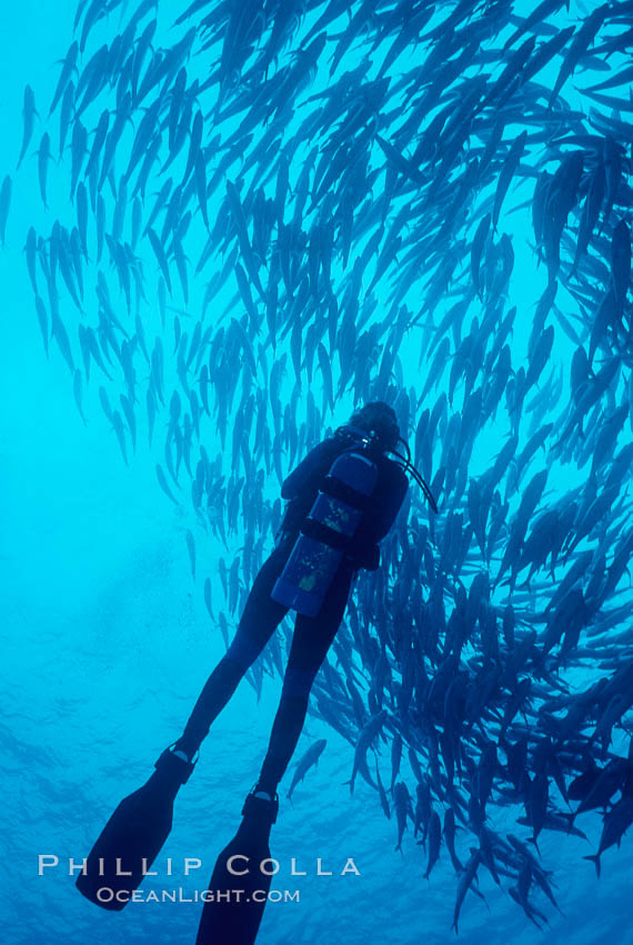 Diver and schooling jacks. Cocos Island, Costa Rica, Caranx sexfasciatus, natural history stock photograph, photo id 02047