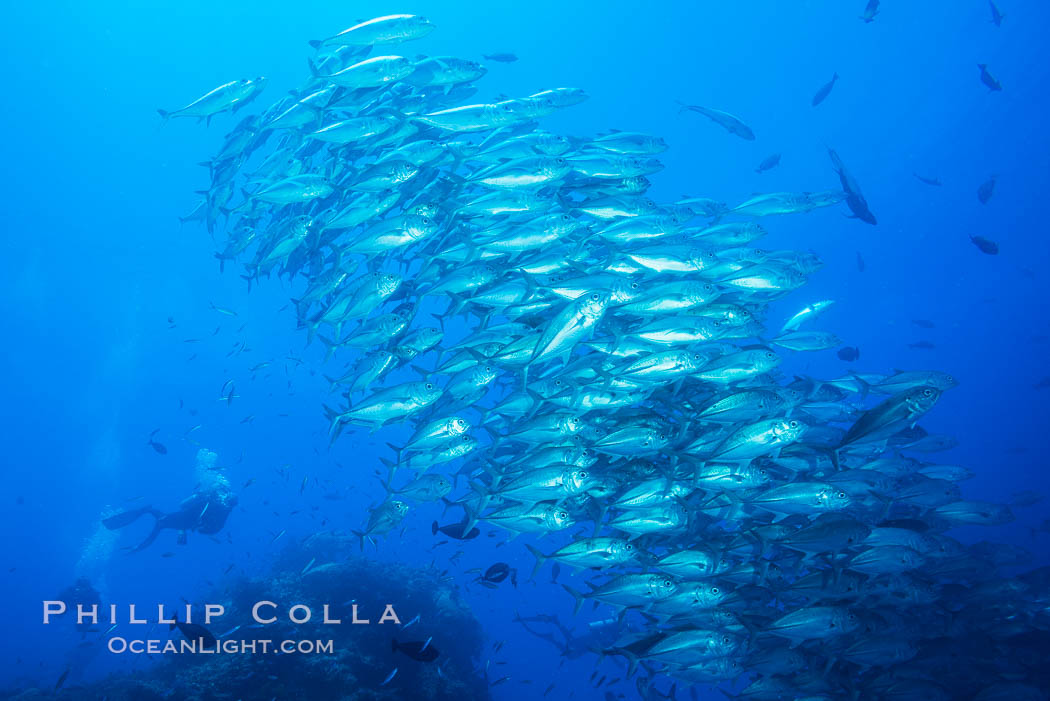 Bigeye Trevally Jacks, Schooling, Fiji. Namena Marine Reserve, Namena Island, Fiji, natural history stock photograph, photo id 31365