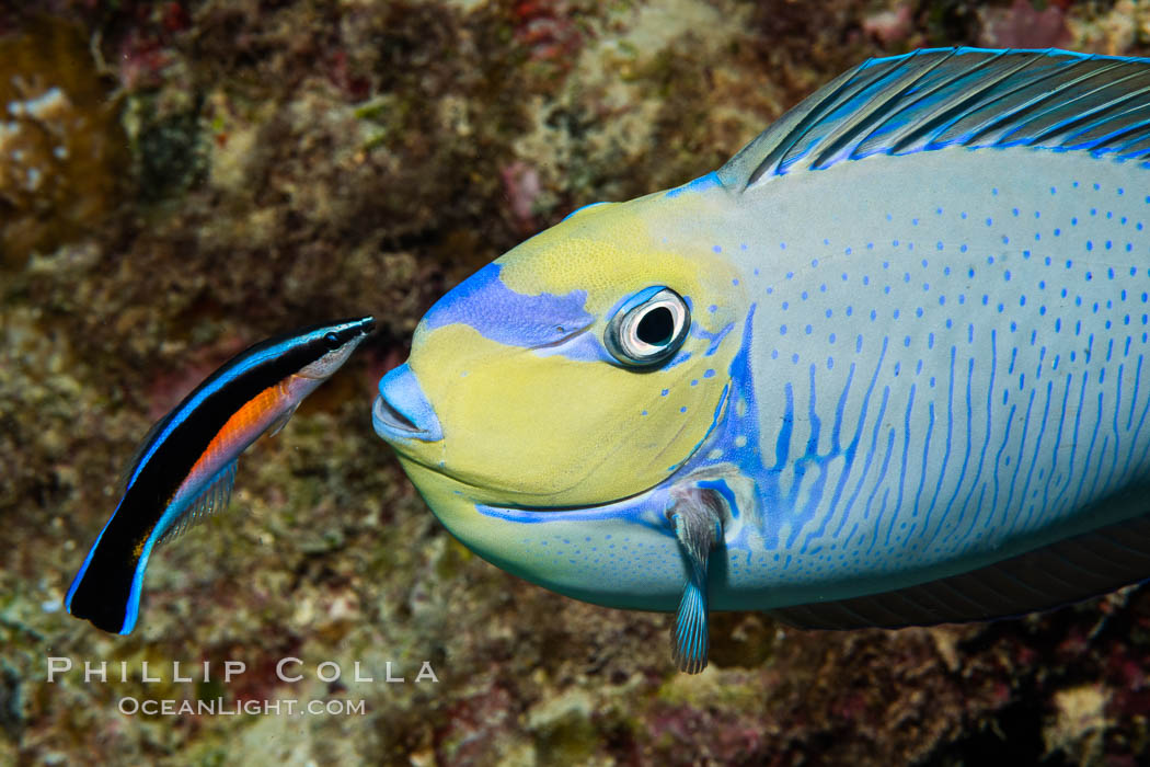 Bignose Unicornfish, Naso vlamingii, being cleaned by a small wrasse, Fiji, Naso vlamingii, Namena Marine Reserve, Namena Island