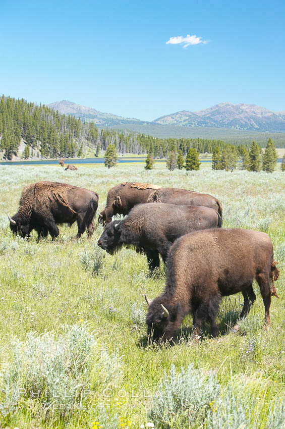The Hayden herd of bison grazes near the Yellowstone River. Hayden Valley, Yellowstone National Park, Wyoming, USA, Bison bison, natural history stock photograph, photo id 13126