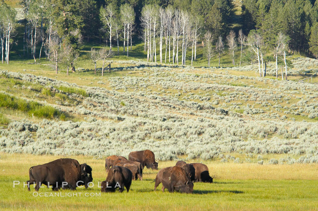 The Lamar herd of bison grazing. Lamar Valley, Yellowstone National Park, Wyoming, USA, Bison bison, natural history stock photograph, photo id 13130