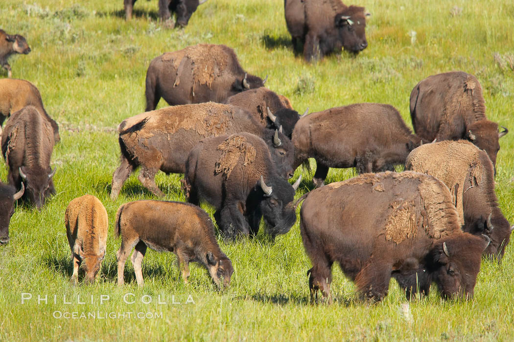 The Lamar herd of bison grazes, a mix of mature adults and young calves. Lamar Valley, Yellowstone National Park, Wyoming, USA, Bison bison, natural history stock photograph, photo id 13123