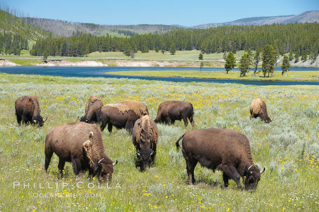 The Hayden herd of bison grazes near the Yellowstone River. Hayden Valley, Yellowstone National Park, Wyoming, USA, Bison bison, natural history stock photograph, photo id 13121