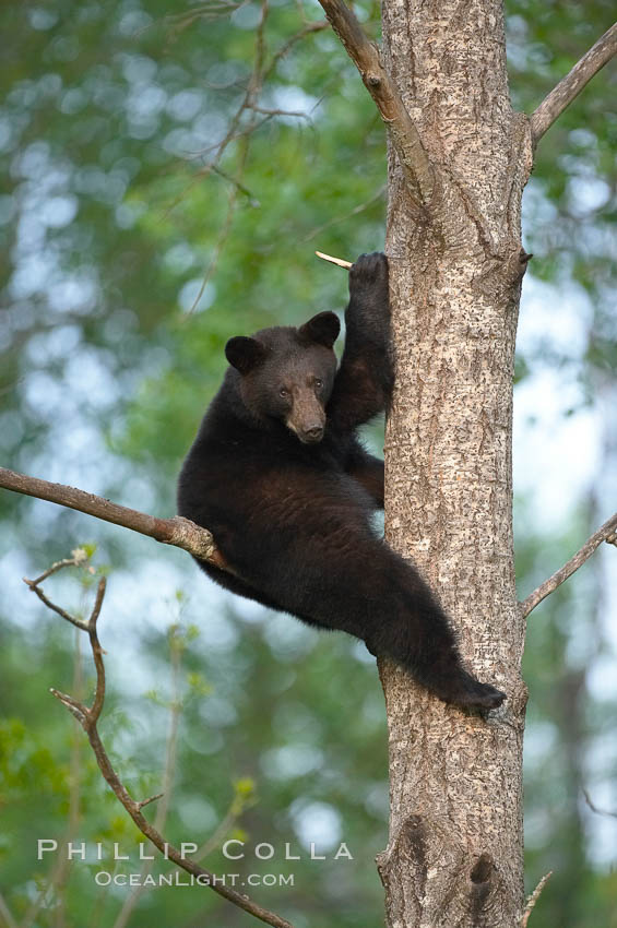Black bear in a tree.  Black bears are expert tree climbers and will ascend trees if they sense danger or the approach of larger bears, to seek a place to rest, or to get a view of their surroundings. Orr, Minnesota, USA, Ursus americanus, natural history stock photograph, photo id 18762