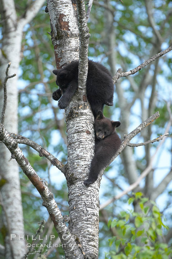 Black bear cub in a tree.  Mother bears will often send their cubs up into the safety of a tree if larger bears (who might seek to injure the cubs) are nearby.  Black bears have sharp claws and, in spite of their size, are expert tree climbers. Orr, Minnesota, USA, Ursus americanus, natural history stock photograph, photo id 18956