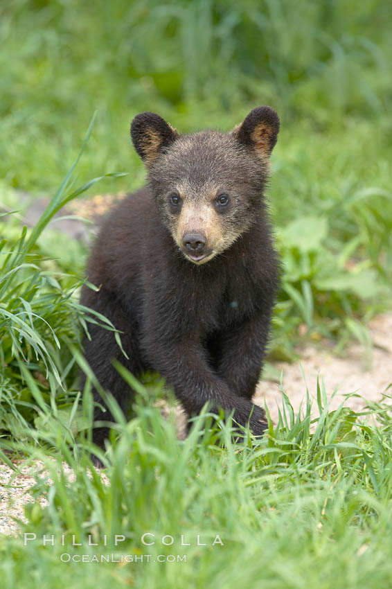 Black bear cub.  Black bear cubs are typically born in January or February, weighing less than one pound at birth.  Cubs are weaned between July and September and remain with their mother until the next winter. Orr, Minnesota, USA, Ursus americanus, natural history stock photograph, photo id 18794