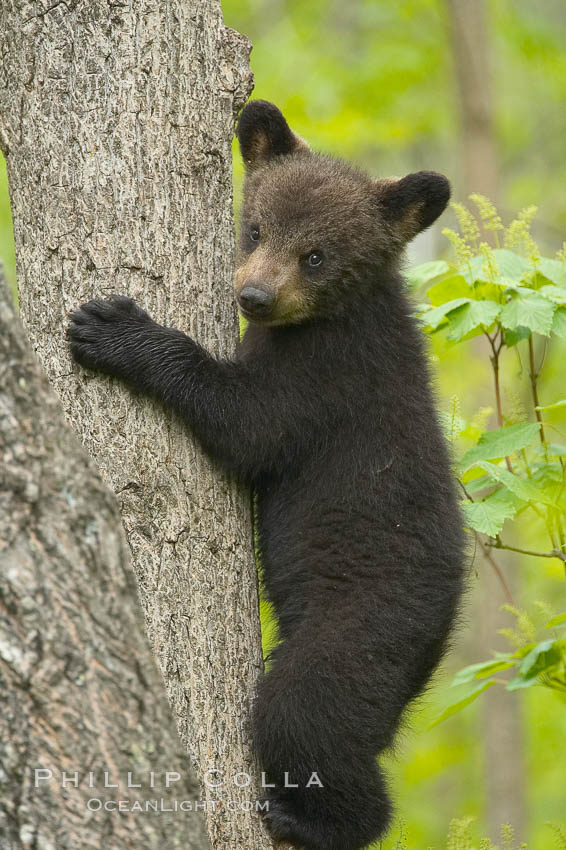 Black bear cub in a tree Ursus americanus photo Orr