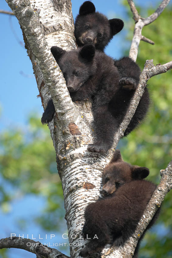 Black bear cub in a tree.  Mother bears will often send their cubs up into the safety of a tree if larger bears (who might seek to injure the cubs) are nearby.  Black bears have sharp claws and, in spite of their size, are expert tree climbers. Orr, Minnesota, USA, Ursus americanus, natural history stock photograph, photo id 18850