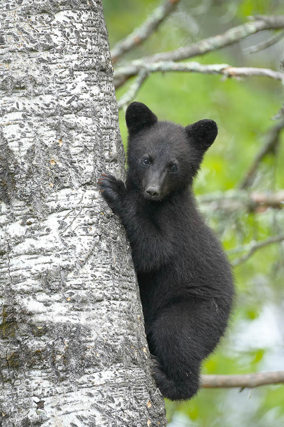 Black bear cub in a tree.  Mother bears will often send their cubs up into the safety of a tree if larger bears (who might seek to injure the cubs) are nearby.  Black bears have sharp claws and, in spite of their size, are expert tree climbers. Orr, Minnesota, USA, Ursus americanus, natural history stock photograph, photo id 18756