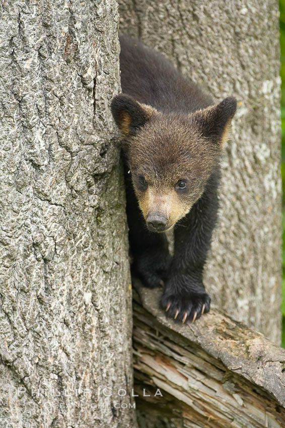Black bear cub in a tree.  Mother bears will often send their cubs up into the safety of a tree if larger bears (who might seek to injure the cubs) are nearby.  Black bears have sharp claws and, in spite of their size, are expert tree climbers. Orr, Minnesota, USA, Ursus americanus, natural history stock photograph, photo id 18787
