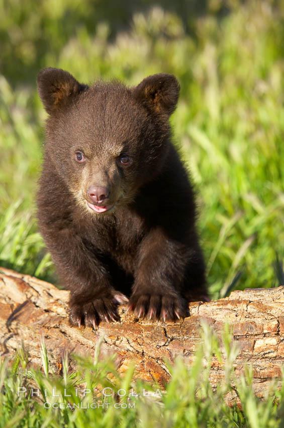 Image 12273, American black bear, male cub., Ursus americanus, Phillip Colla, all rights reserved worldwide. Keywords: american black bear, americanus, animal, animalia, bear, bear cub, black bear, black bear cub, caniformia, carnivora, carnivore, carnvore, chordata, cub, mammal, ursidae, ursus, ursus americanus, vertebrata, vertebrate.