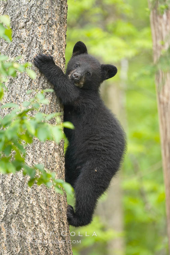 Black bear cub in a tree.  Mother bears will often send their cubs up into the safety of a tree if larger bears (who might seek to injure the cubs) are nearby.  Black bears have sharp claws and, in spite of their size, are expert tree climbers. Orr, Minnesota, USA, Ursus americanus, natural history stock photograph, photo id 18837