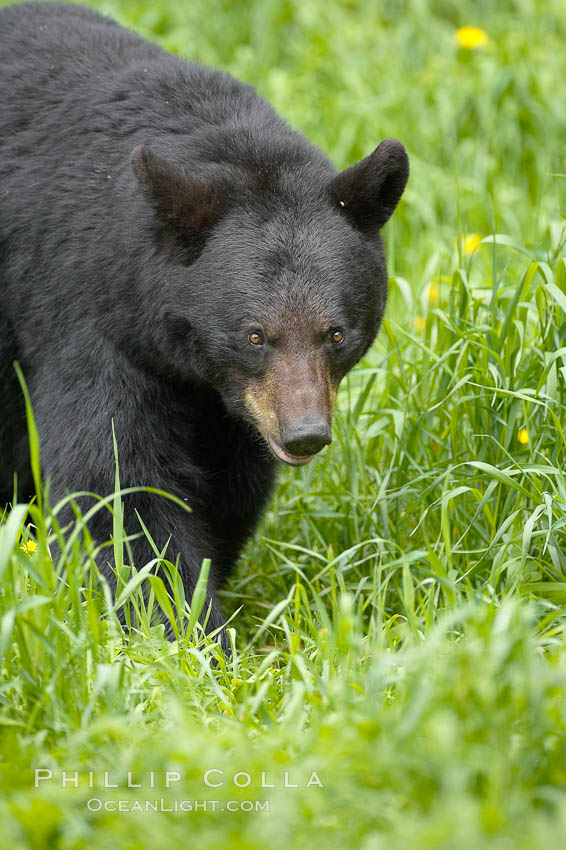 Black bear walking in a grassy meadow.  Black bears can live 25 years or more, and range in color from deepest black to chocolate and cinnamon brown.  Adult males typically weigh up to 600 pounds.  Adult females weight up to 400 pounds and reach sexual maturity at 3 or 4 years of age.  Adults stand about 3' tall at the shoulder. Orr, Minnesota, USA, Ursus americanus, natural history stock photograph, photo id 18882