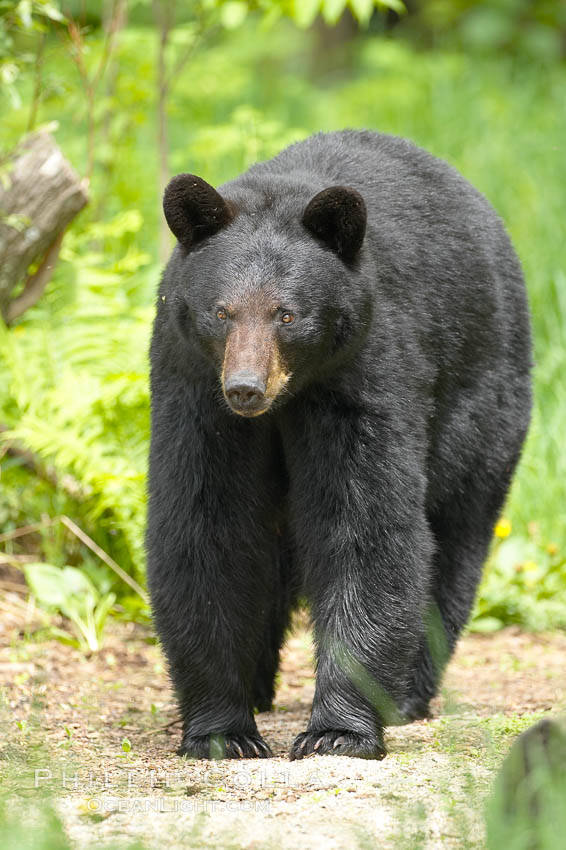 Black bear walking in a forest.  Black bears can live 25 years or more, and range in color from deepest black to chocolate and cinnamon brown.  Adult males typically weigh up to 600 pounds.  Adult females weight up to 400 pounds and reach sexual maturity at 3 or 4 years of age.  Adults stand about 3' tall at the shoulder. Orr, Minnesota, USA, Ursus americanus, natural history stock photograph, photo id 18880