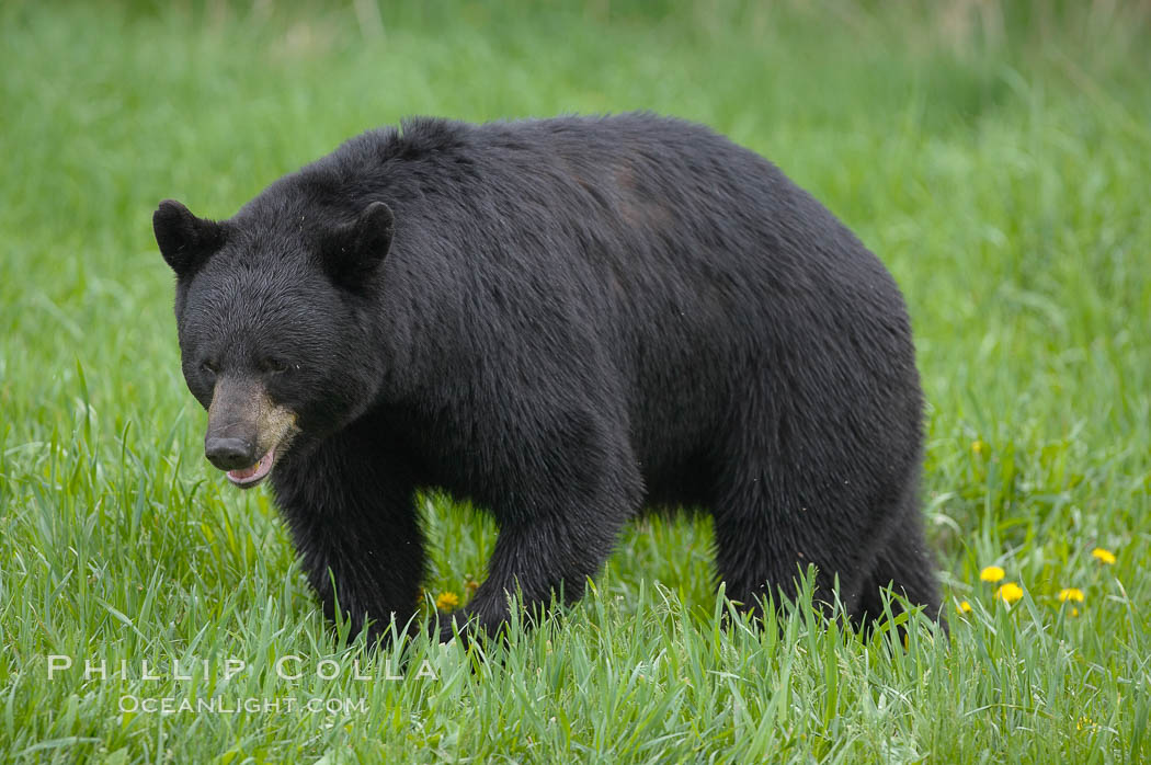 Black bear walking in a grassy meadow.  Black bears can live 25 years or more, and range in color from deepest black to chocolate and cinnamon brown.  Adult males typically weigh up to 600 pounds.  Adult females weight up to 400 pounds and reach sexual maturity at 3 or 4 years of age.  Adults stand about 3' tall at the shoulder. Orr, Minnesota, USA, Ursus americanus, natural history stock photograph, photo id 18884